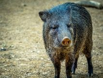 Peccary colleté photo stock