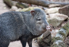 Peccary colleté Photos stock