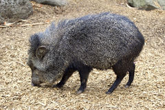 Peccary colleté Photo libre de droits