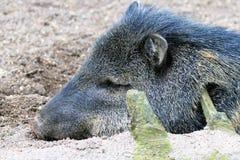 Peccary del cavolo riccio Fotografia Stock Libera da Diritti