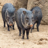 Peccary in the desert Royalty Free Stock Images