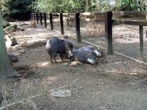 Peccary. javelin. skunk pig. peccaries in a zoo or safari park in England Stock Images