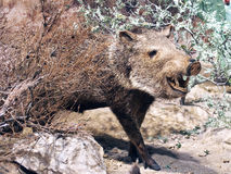 Peccary Stock Image