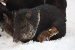 Peccary messo un colletto che si trova nella neve con il bambino Immagini Stock