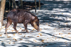 Peccary in Mexico. Peccary in the jungle in the Calakmul Biosphere Reserve in Campeche, Mexico Stock Photos