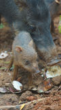 Peccary pig eating with her baby. Common names: Sacha kuchi, Pecarí de labio blanco, Puerco sajino, Huangana. Stock Photography