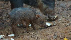 Peccary pig eating with her baby. Common names: Sacha kuchi, Pecarí de labio blanco, Puerco sajino, Huangana. Stock Photos
