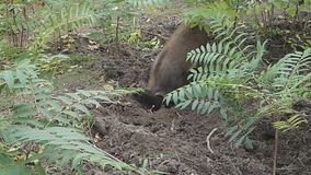 Peccary pig grubbing the land for food stock video footage