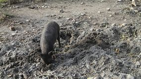 Peccary pig scratching the ground stock video footage
