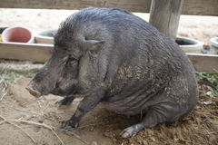 A Peccary. Portrait closed up in a farm Stock Photo