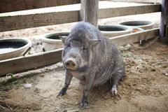 A Peccary. Portrait closed up in a farm Royalty Free Stock Photography