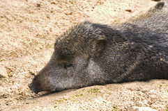 Peccary at Rest. Pecari tajacu or Peccary animal resting on stomach on bare ground royalty free stock photo
