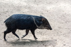 Peccary Royalty Free Stock Images