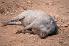 Peccary or skunk pig Royalty Free Stock Photography