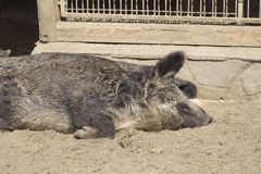Peccary Sleeps Royalty Free Stock Image
