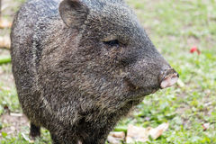 Peccary staring Stock Photo