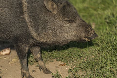 Peccary under evening sun in green grass. Peccary under evening golden sun in green grass Royalty Free Stock Photography