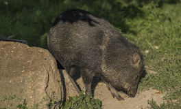 Peccary under evening sun in green grass. Peccary under evening golden sun in green grass Royalty Free Stock Images