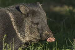 Peccary under evening sun in green grass. Peccary under evening golden sun in green grass Royalty Free Stock Photos