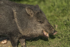 Peccary under evening sun in green grass Stock Photo
