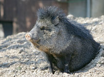 Peccary waking up. Small peccary emerging from a hole Stock Photos