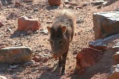 Peccary Walking. In the early morning Royalty Free Stock Images