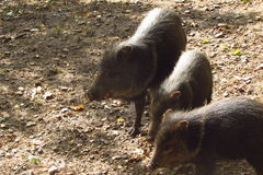 Peccarys. Three peccarys in Prague zoo Stock Photo
