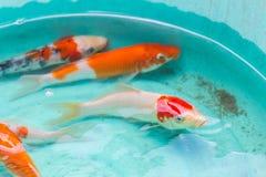 Peces de colores hermosos en venta del enemigo de la charca Foto de archivo