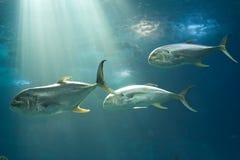 Peces marinos Imágenes de archivo libres de regalías