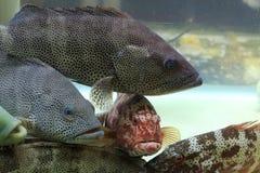 Peces marinos Foto de archivo libre de regalías