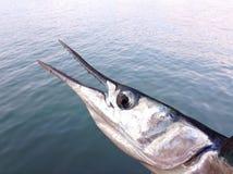 Peces marinos Fotos de archivo libres de regalías