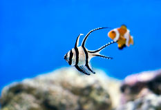 Peces marinos tropicales Fotografía de archivo
