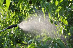 Pech fruit plant treating in orchard. Spraying fruit plants in orchard in spring or early summer, plant protection or nutrition work in late afternoon stock photography
