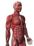Pecho humano de la radiografía del músculo Fotografía de archivo