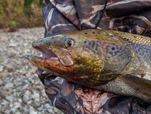 Pechora salmon Stock Image