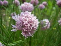 Pecial jaskrawy menchia koloru kwiat zdjęcia stock