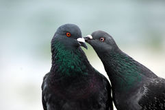 Peck on the Cheek. One pigeon gives another pigeon a lil kiss on the cheek stock photos