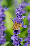 Peck`s Skipper Butterfly. Collecting nectar from a purple flower. Rosetta McClain Gardens, Toronto, Ontario, Canada Stock Images