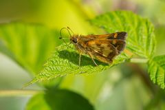 Peck`s Skipper Butterfly. Perched on a leaf. Todmorden Mills, Toronto, Ontario, Canada Royalty Free Stock Images