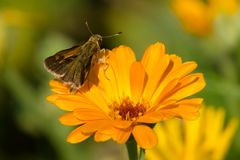 Peck`s Skipper Butterfly. Perched on an orange flower. Urquhart Butterfly Garden, Burlington, Ontario, Canada Royalty Free Stock Photos