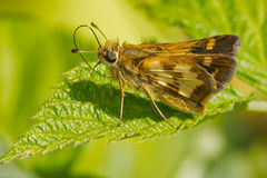 Peck's Skipper Butterfly Royalty Free Stock Photos