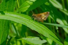 Peck`s Skipper Butterfly. Perched on a leaf. Rouge National Urban Park, Toronto, Ontario, Canada Royalty Free Stock Images