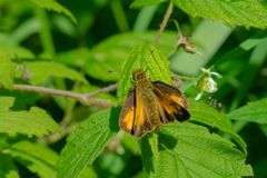 Peck`s Skipper Butterfly. Perched on a leaf. Rouge National Urban Park, Toronto, Ontario, Canada Royalty Free Stock Photography
