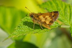 Peck`s Skipper Butterfly. Perched on a leaf. Todmorden Mills, Toronto, Ontario, Canada Royalty Free Stock Photos