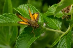 Peck`s Skipper Butterfly - Polites peckius. Peck`s Skipper Butterfly perched on a leaf. Todmorden Mills, Toronto, Ontario, Canada Royalty Free Stock Images