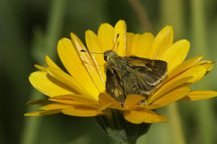 Peck's Skipper Butterfly Royalty Free Stock Photography