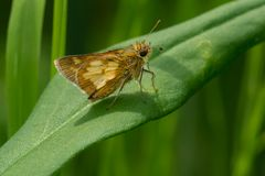 Free Peck`s Skipper Butterfly - Polites Peckius Royalty Free Stock Photography - 153031047