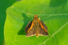 Peck`s Skipper Butterfly - Polites peckius. Peck`s Skipper Butterfly resting on a green leaf. Edwards Gardens, Toronto, Ontario, Canada royalty free stock images
