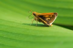 Peck`s Skipper Butterfly - Polites peckius. Peck`s Skipper Butterfly resting on a green leaf. Edwards Gardens, Toronto, Ontario, Canada royalty free stock photos