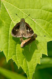 Peck's Skipper Butterfly Royalty Free Stock Images